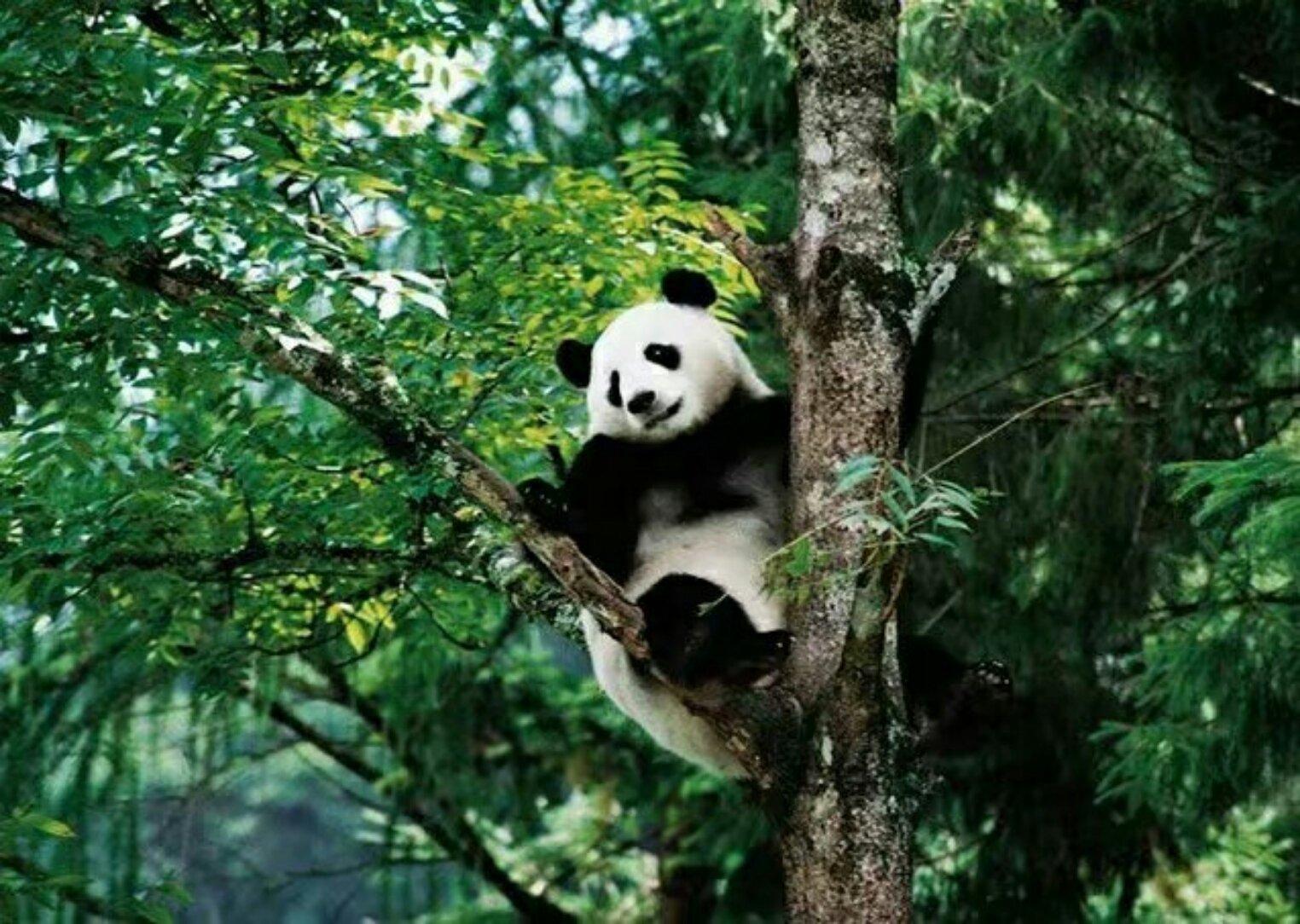 壁纸 大熊猫 动物 灵长目 1524_1084