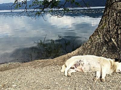 #城事#泸沽湖怡然自得的狗狗